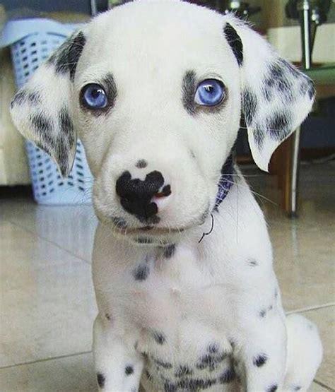 dalmatians puppies 695 best images about dalmatian puppies on dalmatian breeders dalmatians