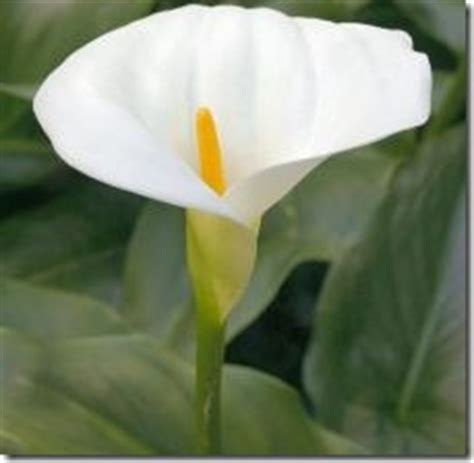 top 28 do calla lilies need sun are calla lilies
