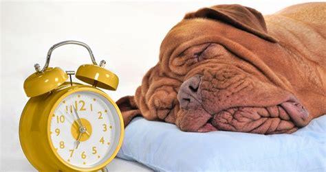 schlafen wie lange wie viel schlaf braucht ein hund hund katz agila