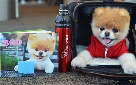 cutest in the world pomeranian the cutest in the world shutterhedge