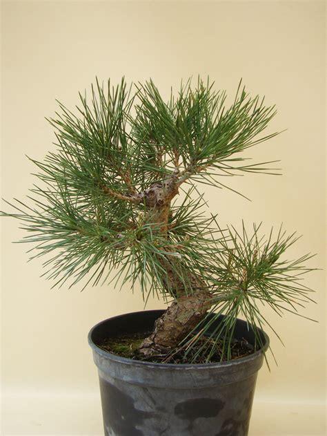genki bonsai genki bonsai bestes bonsai ausgangsmaterial
