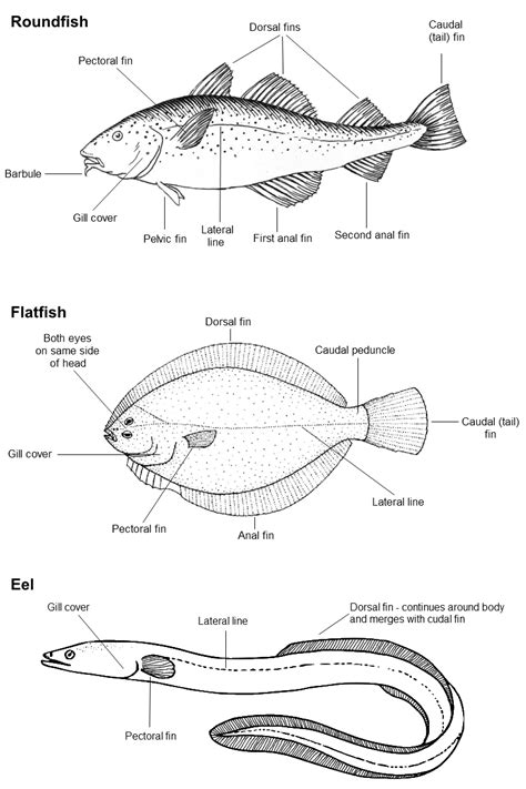 a diagram of a fish labelled diagram of fish 28 images taxo4254