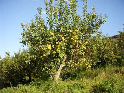 limoni in vaso coltivazione limone citrus limon citrus limon aromatiche limone
