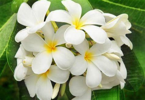 fiori di gelsomino gelsomino la pianta afrodisiaca direttanews it