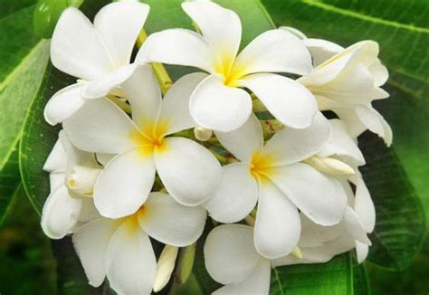 alimentazione afrodisiaca gelsomino la pianta afrodisiaca direttanews it