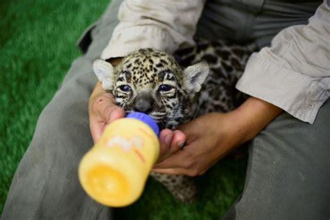 cubs newborn fan newborn jaguar cubs draw fans at mexico wildlife park