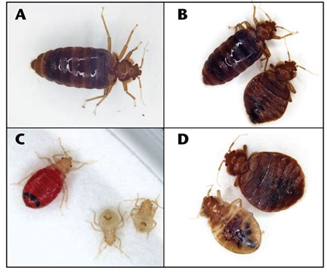 different types of bed bugs nmsu sleep tight don t let the bed bugs bite practical