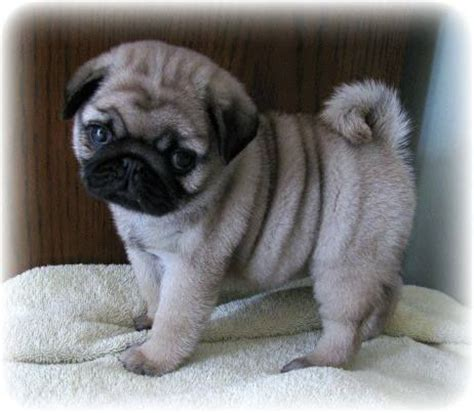 baby pug pictures awww another fluffy chunky pug pup mostly animals cas