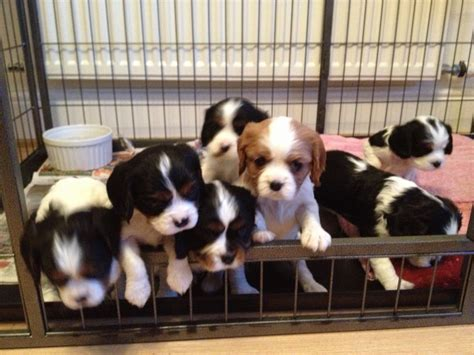 king charles cavalier puppies for sale in pa cavalier king charles spaniel puppies for sale stunning puppies breeds picture