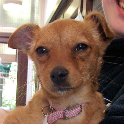 staffy cross pomeranian sally 3 month pomeranian cross terrier for adoption