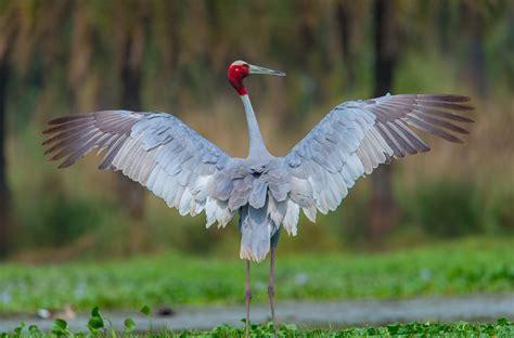 top 40 sarus crane bird pictures images hd wallpapers