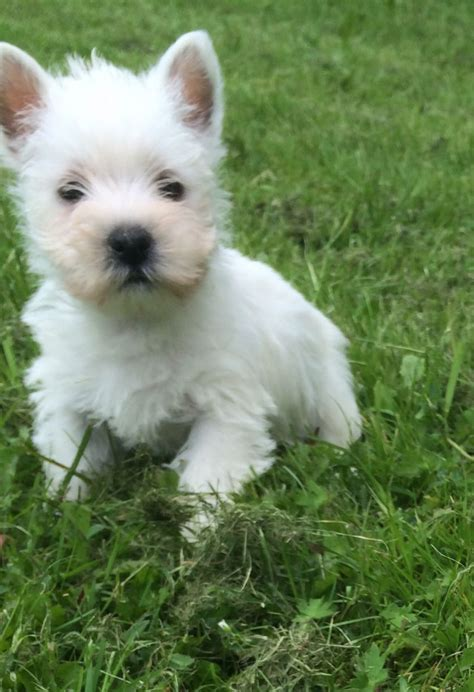 westie for sale 8 week westie puppies for sale newcastle lyme staffordshire pets4homes