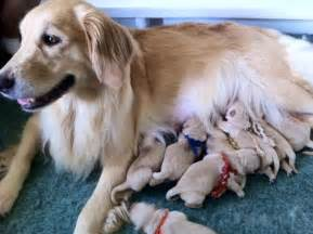 Goldenwind golden retrievers breeders of golden retriever puppies