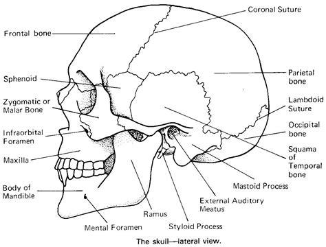 exam 1 human anatomy 220 with suskovic at minnesota