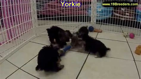 yorkie puppies for sale in fl yorkie puppies for sale in ta florida fl st