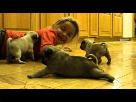 battle of the cookie pug vs baby pug puppy pushes baby stroller breeds picture