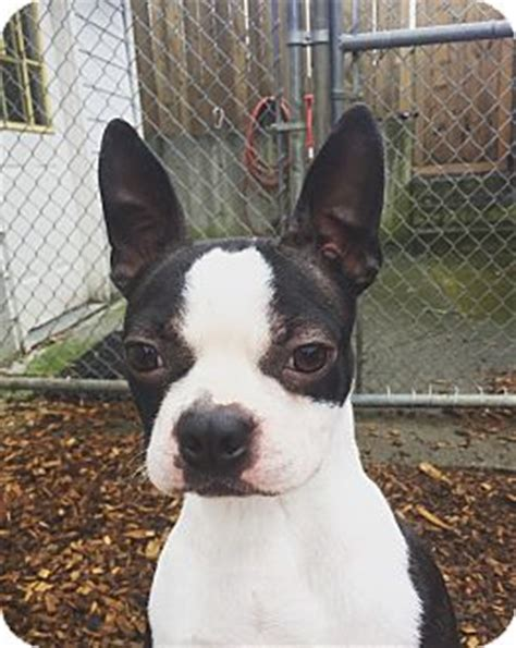 boston terrier puppies up for adoption seattle wa boston terrier meet suki a for adoption