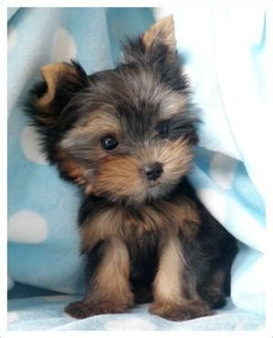 i want a yorkie i want this adorable micro teacup yorkie