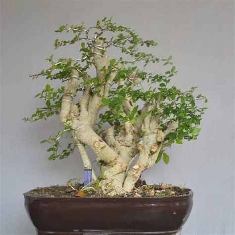 Bakalan Bonsai Santigi babon serut bb srt 01 bonsai karangasem