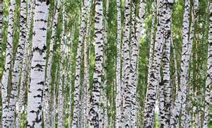 Birch Wall Mural birches wall mural decor place wall murals