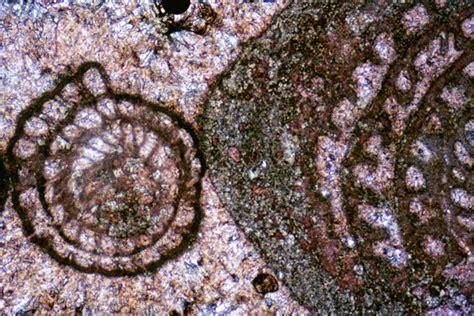bryozoan thin section bryozoan through coccoliths sepm strata