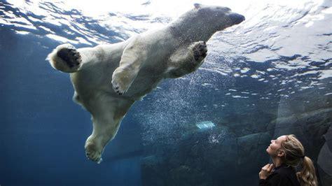 Aquarium underwater polar bears wallpaper   (75703)