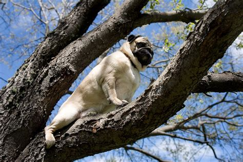 stuck pug call 911 my pug is stuck up in a tree by shutterpug dpchallenge