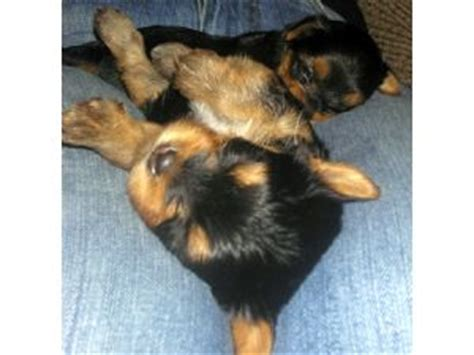yorkie puppies for sale in raleigh nc terrier puppies in carolina
