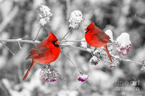 Pictures Of Cardinals In Snow cardinals in the snow photograph by anthony sacco