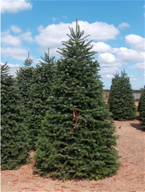 oregon christmas trees available for purchase at guerrero