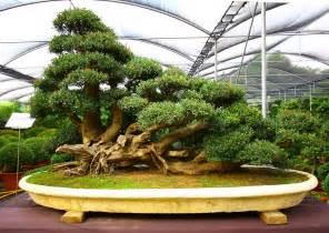 bonzi tree talus slopes bonsai tree photos