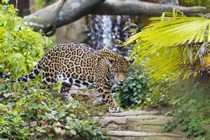 Zoo Jaguar Jaguar Conservation And Woodland Park Zoo Woodland Park