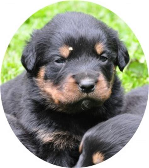 yorkie poos for sale in pa yorkie poo puppies for sale in chambersburg pa chambersburg rachael edwards