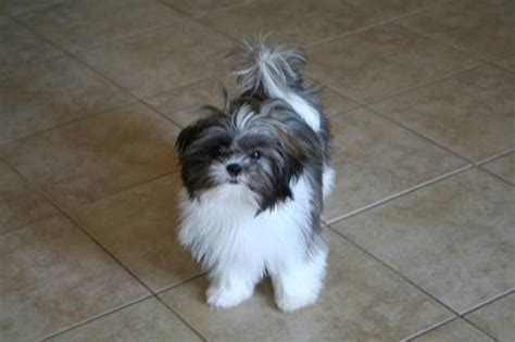 shih tzu 6 months imperial shih tzu 6 months to fall in with being a