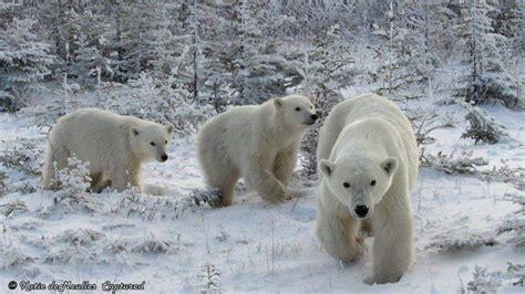 churchill sunday photos churchill polar bears