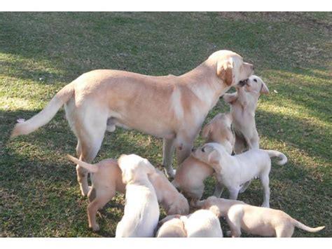 Labrador Afrika 2 labrador puppies for sale bred pretoria east