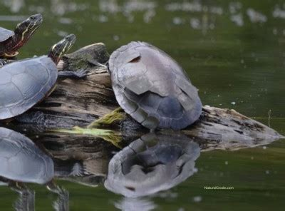 Turtle Shed by Painted Turtle Scutes Images