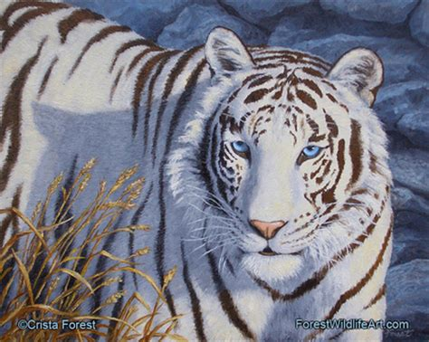white tiger pictures interesting facts white tiger
