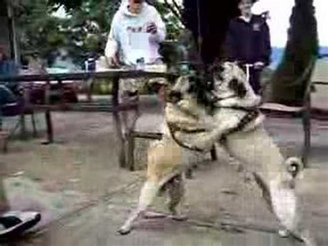 pug fight pug fight
