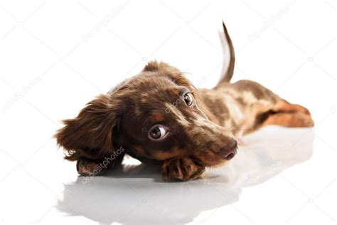spotted dachshund puppies brown spotted dachshund puppy with big stock photo