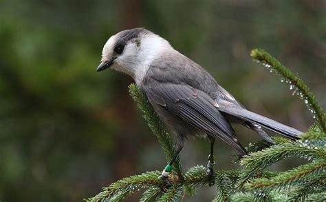 the boreal forest ontario s songbird nursery parks blog