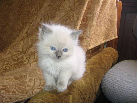 ragdoll kittens for adoption ragdoll kittens purebred for sale adoption from korumburra