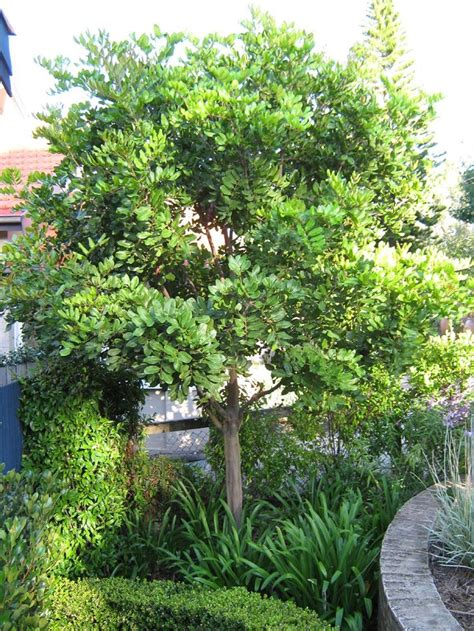medium size shrubs for shade 17 best images about medium sized trees on