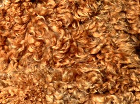 doodle god wiki wool coat types blessed day labradoodles goldendoodles
