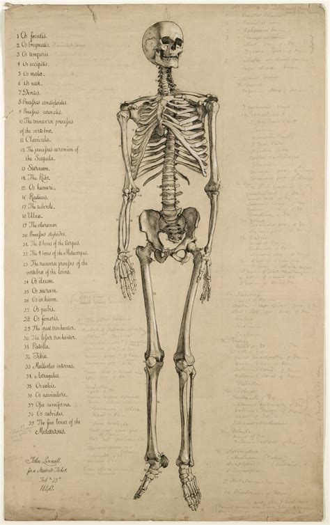Drawing Human Anatomy by Drawing Of The Human Skeleton Simple Skeleton Drawing How
