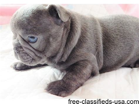 bulldog puppies 250 dollars bulldog puppies animals california city california announcement 39482