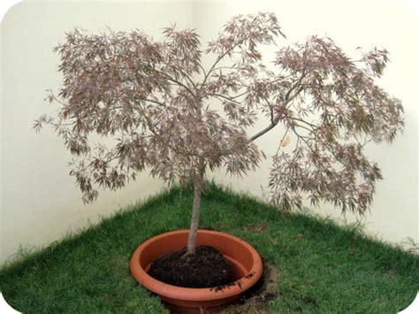 acero in vaso come piantare un acero giapponese in giardino il sito