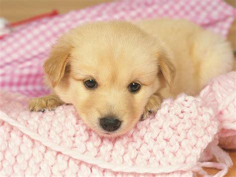 adorable golden retriever puppy 1600 1200 loveable golden retriever puppy golden retriever puppies photos 22