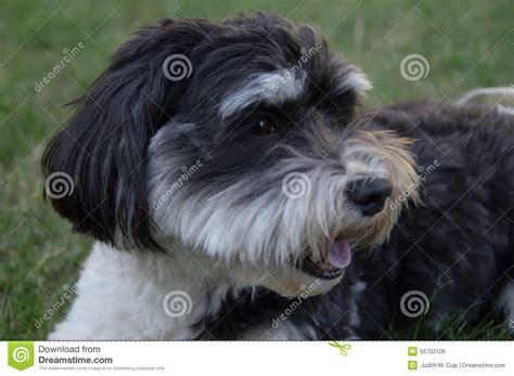 white havanese dogs black and white havanese stock photo image 55703126