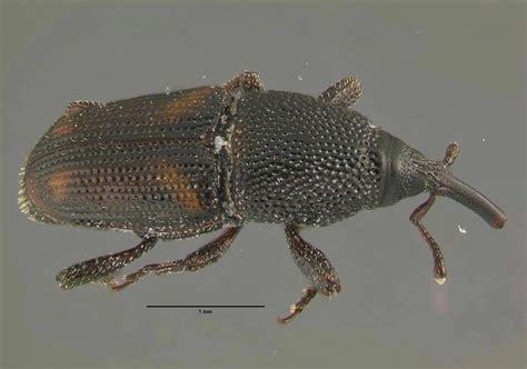 weevils in bedroom how to get rid of weevils in my bedroom 28 images